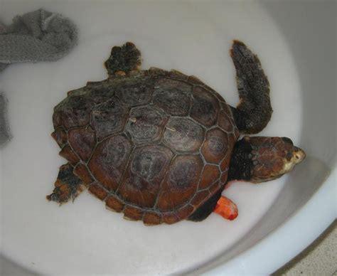 tartarughe marine alimentazione recuperata una tartaruga marina impigliata in una rete da