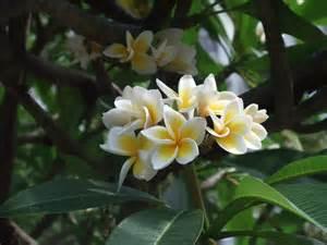Flower Aberdeen - file plumeria rubra 1 jpg wikimedia commons