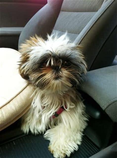 ways to groom a shih tzu my shih tzu sheepdog on way to grooming yelp