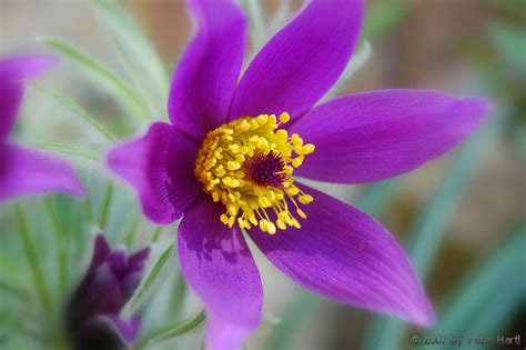 Facts About Easter by South Dakota State Flower Pasque Flower