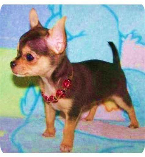 chiwawa puppies all about chihuahua chiwawa puppies