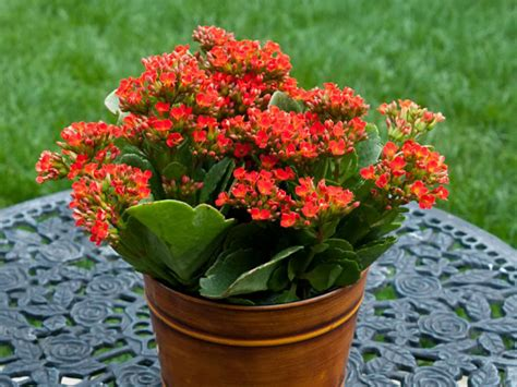 how to grow and care for kalanchoe world of succulents