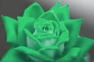 Green rose means calm fertility fruitfulness photo 20 by rebecca