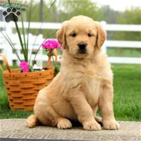 looking for a golden retriever puppy to adopt golden retriever puppies adoption orange county dogs our friends photo