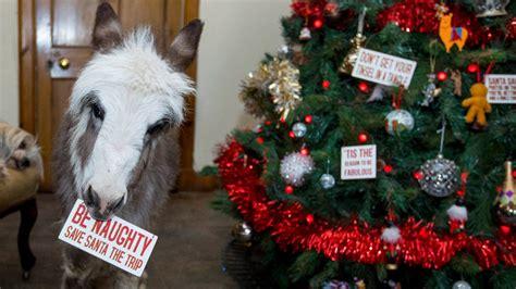 donkey  lives  home shows  distaste  christmas  prefers    dog