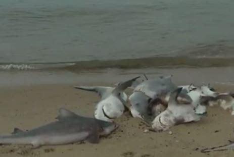 baby shark mobile 60 baby sharks found dead on beach near mobile bay