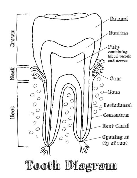 diagram printable human teeth diagrams to print diagram site