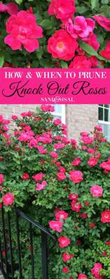 how and when to prune knock out roses sand and sisal