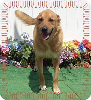 mastiff golden retriever mix marietta ga mastiff golden retriever mix meet marty a for adoption