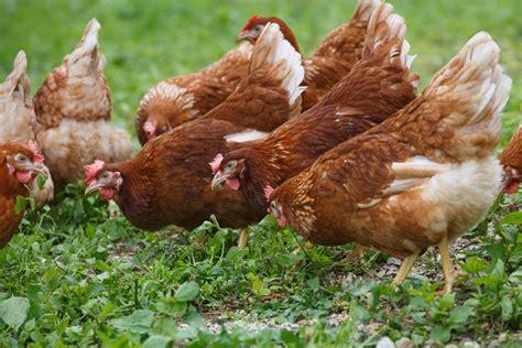 alimentazione animale il sorgo profili nutrizionali promettenti per l