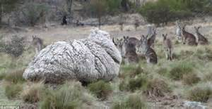 austrailian sheep chris the sheep makes the guinness world records after