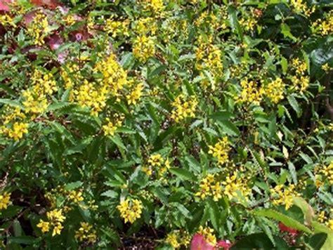 thryallis florida nursery mart