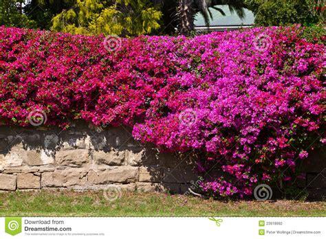 bouganville fiore muro di mattoni coperto di fiore bougainvillea