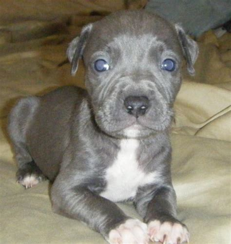 blue nose pitbull puppy price keeps vomiting clear liquid all about dogs and puppies blue nose pitbull price