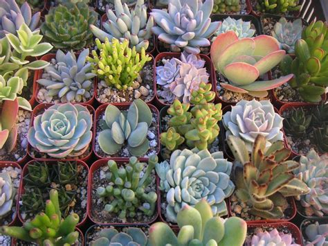 Succulents Plants | a collection of 12 succulent plants great for terrarium