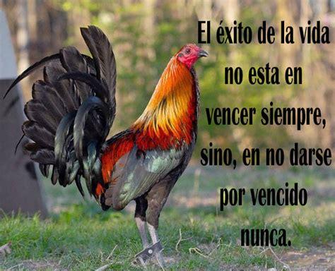 imagenes de gallos con frases newhairstylesformen2014 com imagenes de gallos de pelea con frases