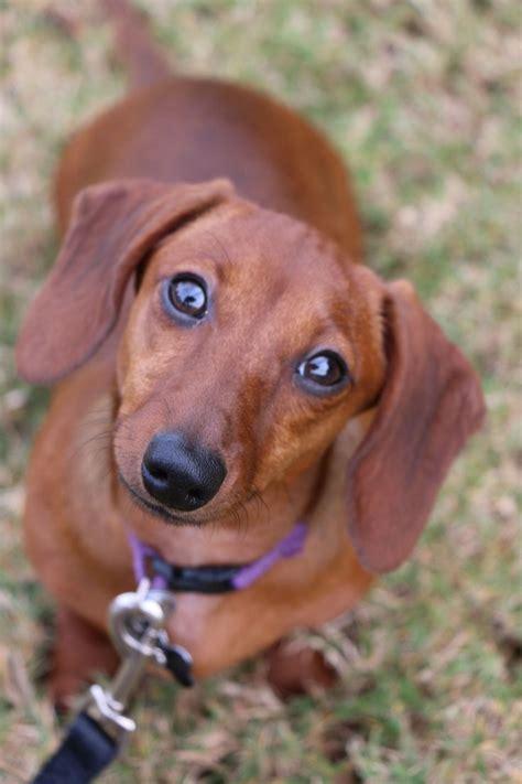 sweet chloe red short haired dachshund doxie weiner