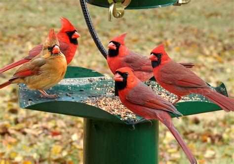 best 28 best bird feeder for cardinals amazon com no