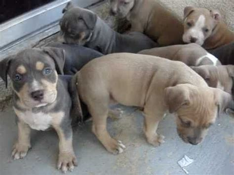 4 week pitbull puppy tri color pitbull puppies 5 weeks www nationalpitbullleague