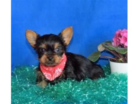 teacup yorkies for sale 500 dollars akc teacup yorkie puppies animals andover new hshire announcement 29473