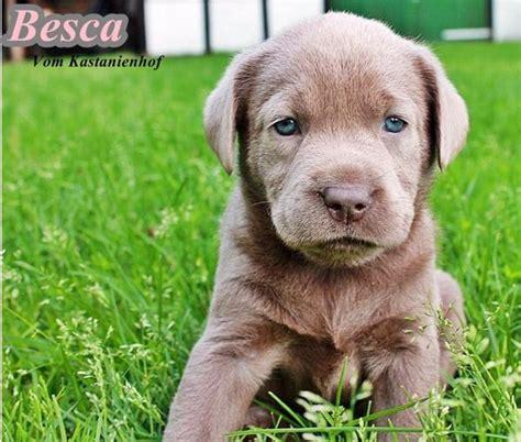 welpen gesucht labrador welpen in lengerich hunde kaufen und verkaufen