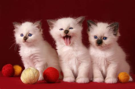 three cute kittens 3 cute kittens hd desktop wallpaper widescreen high