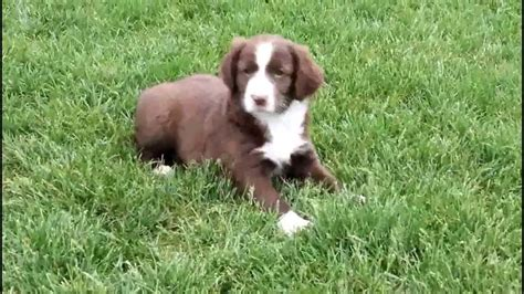 springer spaniels for sale english springer spaniel mix puppies for sale youtube