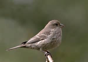 finches birds