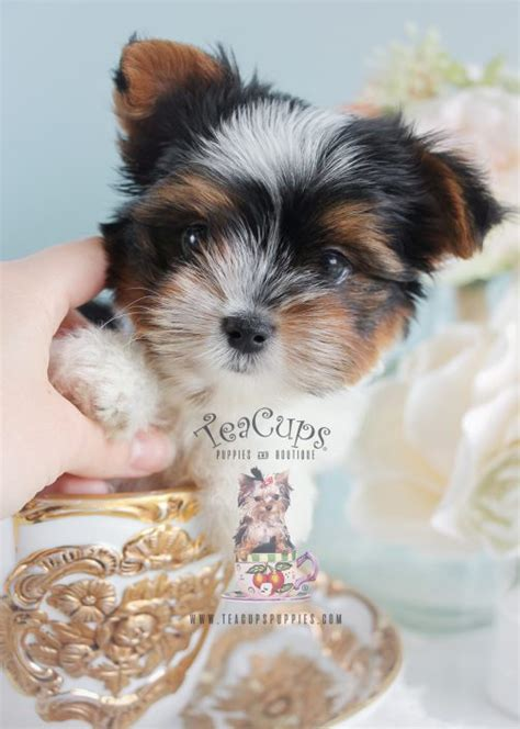 parti colored yorkies for sale teacup yorkies for sale by teacups puppy boutique teacups puppies boutique
