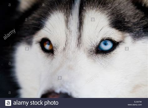 husky with different colored siberian husky up of different colored stock