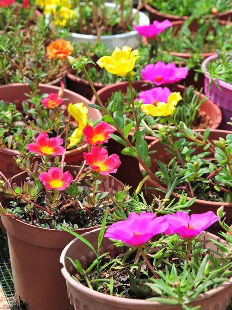 design bunga jepun ini cara semai ros jepun super mudah yang boleh hasilkan