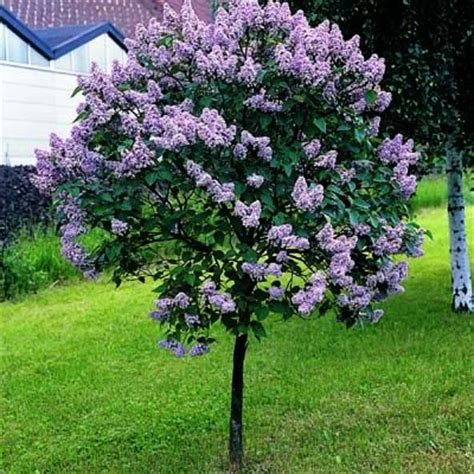 lilac tree inkspired musings lilacs new hshire and walt whitman