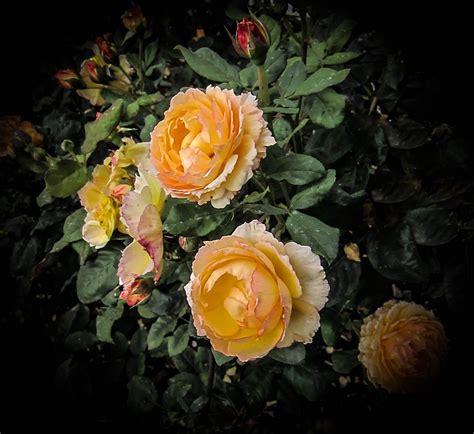 thom zehrfeld photography heirloom roses