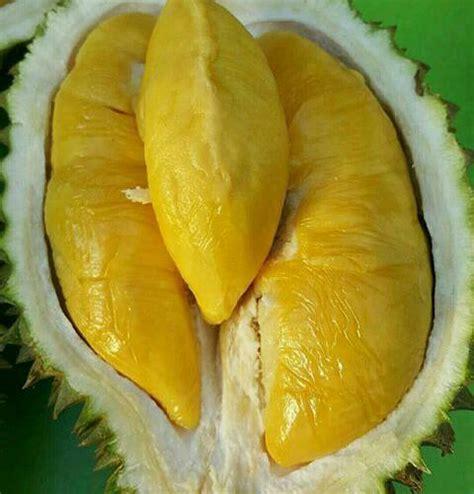Bibit Durian Musang King Besar musang king unggulan bibit buah indonesia