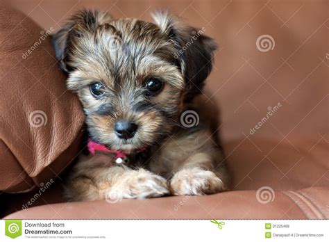 shih tzu yorkie mix grown shih tzu terrier mix haircuts newhairstylesformen2014