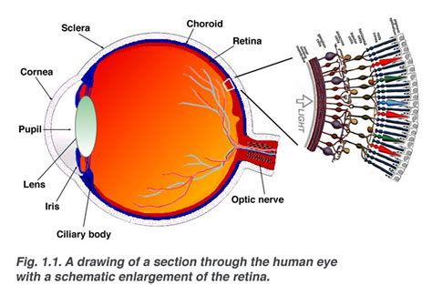 the eye is the l of the simple anatomy of the retina by helga kolb webvision