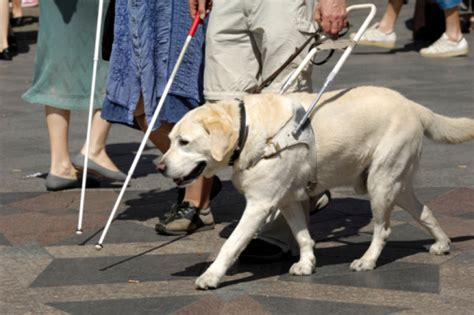 guide dogs for the blind how a guide dog help the elderly in your life household