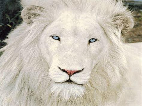 imagenes leon blanco fotos el regreso del leon blanco leones en peligro de extincion