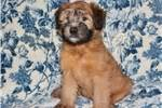 wheaten terrier puppies cost soft coated wheaten terrier puppies for sale from reputable breeders