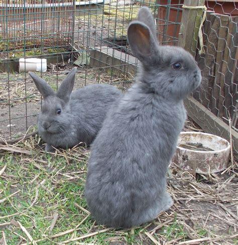 Grey Rabbits baby rabbits blue grey does x2 ready now warrington cheshire pets4homes