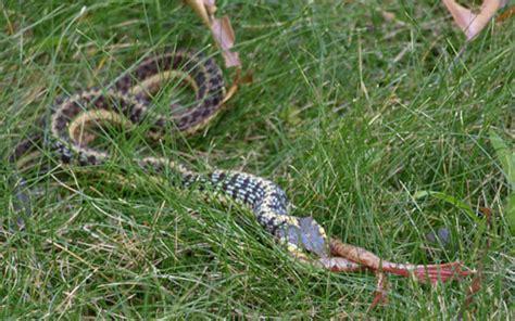 Garter Snake Frog Photo Gallery
