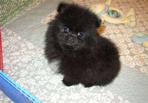 black pomeranian puppies for adoption gorgeous pomeranian puppy black 12 weeks for sale adoption from new
