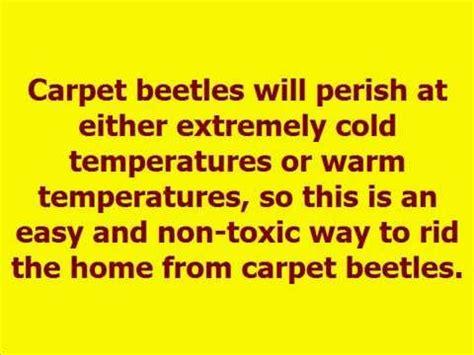 how to get rid of carpet beetles in my bedroom how to get rid of carpet beetles youtube