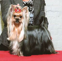 yorkie bee sting yorkie show yorkie chions yorkies currently showing