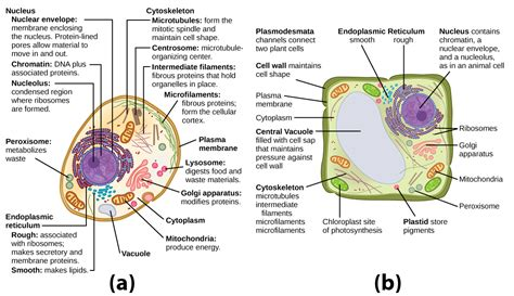 up letter between plant and animal cell unique features of animal and plant cells biology for