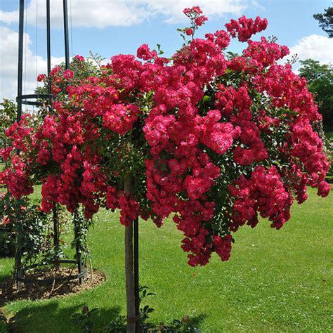 Arbustes Fleurs Rouges by Arbuste 224 Fleurs Rouges Liste Ooreka