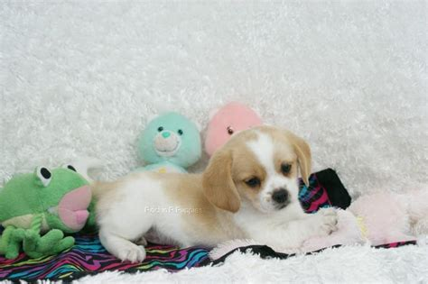 puppy pictures mazy peagle rockin r puppies