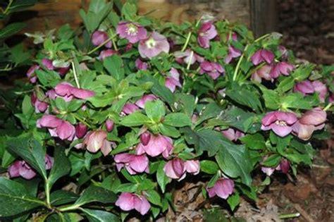 helleborus orientalis royal heritage lenten rose from