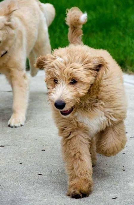 golden retriever poodle mix 25 best ideas about poodle mix puppies on