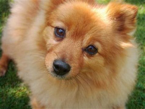 is a pomeranian right for me 8 year rescue pomeranian